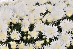 White chrysanthemum flowers Stock Image