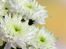 White chrysanthemum flowers Royalty Free Stock Photos
