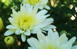 Autumn White chrysanthemum flowers background. Close up on white chrysanthemum flowers and buds on green plant Royalty Free Stock Photo