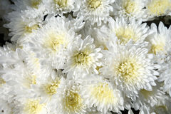White chrysanthemum flowers Stock Photography