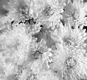White chrysanthemum flowers Stock Photos