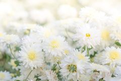 White chrysanthemum flowers stock images
