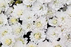 White Chrysanthemum Flowers in garden Stock Photo