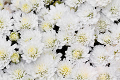 White Chrysanthemum Flowers in garden Stock Images
