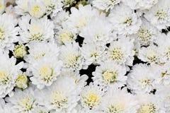 White Chrysanthemum Flowers in garden. A photo of White Chrysanthemum Flowers in garden Stock Images