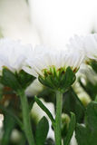 White Chrysanthemum Flowers in garden Royalty Free Stock Photos