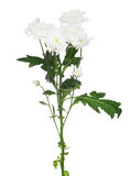 White chrysanthemum flowers on green stem Stock Photography