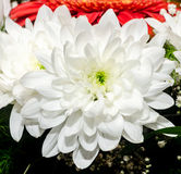 White Chrysanthemum flowers Royalty Free Stock Image
