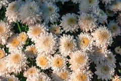 White chrysanthemum flowers wallpaper background in warm light tone Royalty Free Stock Photo