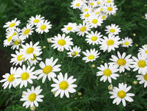 White chrysanthemum Stock Photography