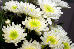 White chrysanthemum Royalty Free Stock Photography