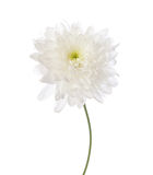 White chrysanthemum Royalty Free Stock Photos