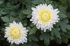The white chrysanthemum Royalty Free Stock Images