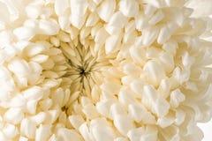 White chrysanthemum macro Royalty Free Stock Photos
