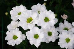 White Chrysanthemum Stock Image