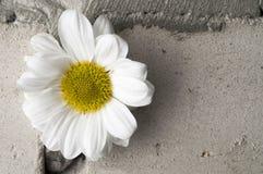 White chrysanthemum over grey brick wall Royalty Free Stock Photo