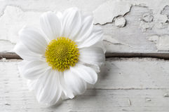 White chrysanthemum over white wooden background Stock Photos