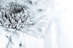 White chrysanthemum petals Royalty Free Stock Photo