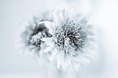 White chrysanthemum petals Stock Photography