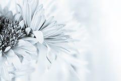 White chrysanthemum petals Royalty Free Stock Image