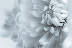 White chrysanthemum petals Stock Photography