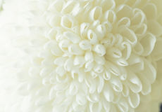 White Chrysanthemum petals flowers Stock Image