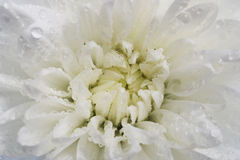 White chrysanthemum petals with water drops Stock Photography