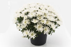 White Chrysanthemum Potted Stock Photography