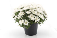 White Chrysanthemum Potted Royalty Free Stock Images