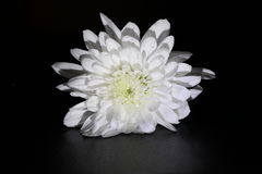 White chrysanthemum. Pure white Chrysanthemum on a black background covered in dew droplets Stock Photo