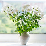 White chrysanthemum on the windowsill Royalty Free Stock Photos