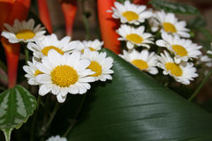 White chrysanthemums. White small chrysanthemums close-up Stock Photos