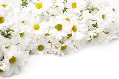 White chrysanthemums Royalty Free Stock Photo