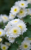 White Chrysanthemums Royalty Free Stock Image