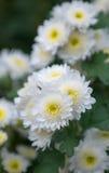 White Chrysanthemums Royalty Free Stock Image