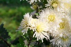 White chrysanthemums Stock Photography