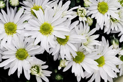 White Chrysanthemums Royalty Free Stock Images