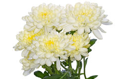 White chrysanthemums Royalty Free Stock Photos