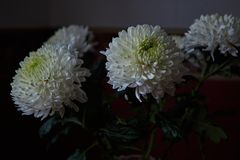 White chrysanthemums. Bud, petals, bouquet. White chrysanthemums are spherical in shape with a green core on a blurred background. Russia, Moscow, holiday, gift Royalty Free Stock Photography