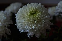 White chrysanthemums. Bud, petals, bouquet. White chrysanthemums are spherical in shape with a green core on a blurred background. Russia, Moscow, holiday, gift Stock Photography