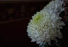 White chrysanthemums. Bud, petals, bouquet. White chrysanthemums are spherical in shape with a green core on a blurred background. Russia, Moscow, holiday, gift Royalty Free Stock Photos