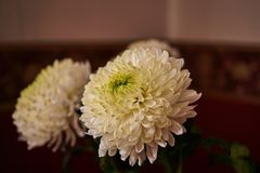 White chrysanthemums. Bud, petals, bouquet. White chrysanthemums are spherical in shape with a green core on a blurred background. Russia, Moscow, holiday, gift Royalty Free Stock Image