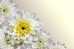 White chrysanthemums and butterfly. On dark background Stock Images