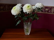 White chrysanthemums in a crystal vase stand on a table. White chrysanthemums of spherical form with a green core in a crystal vase stand on a table. Russia Stock Photos