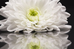White chrysanthemums with details and reflexions Stock Photos