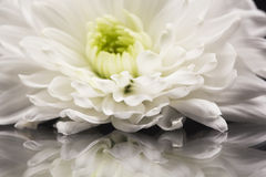 White chrysanthemums with details and reflexions Royalty Free Stock Photo
