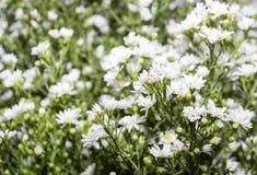 White chrysanthemums on filed Stock Photos
