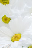 White Chrysanthemums Filling Frame Stock Images