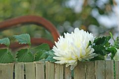 White chrysanthemums flowers blooming near fence stock photo