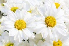 White chrysanthemums  in the garden Stock Photos